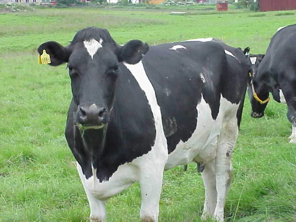 cows wallpapers cows w...