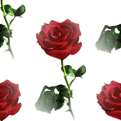 red rose pictures. MySpace Red Rose Background
