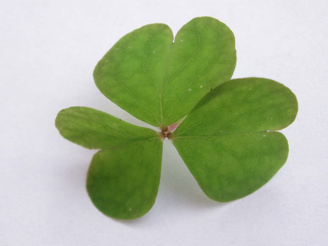 Free Shamrock Closeup Background Twitter Backgrounds Wallpaper